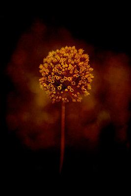 Leek flower (Allium porrum) - p1028m2260700 by Jean Marmeisse