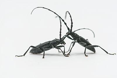 Longhorn beetle, Cerambycidae - p1437m2057057 by Achim Bunz