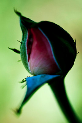 Rose bud - p4450958 by Marie Docher