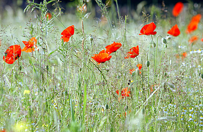 Field with corn poppies and grasses - p473m937184f by STOCK4B-RF