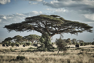 Umbrella thorns and elephants, National Park, Kenya - p706m2158414 by Markus Tollhopf