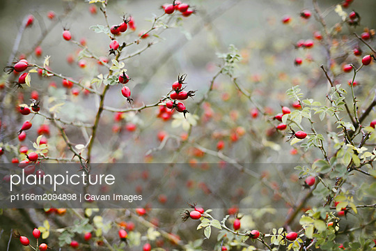 Many red ripe berries on thin tree or bush branches in forest - p1166m2094898 by Cavan Images