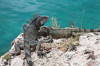 Verliebte Leguane - p045m2007849 von Jasmin Sander