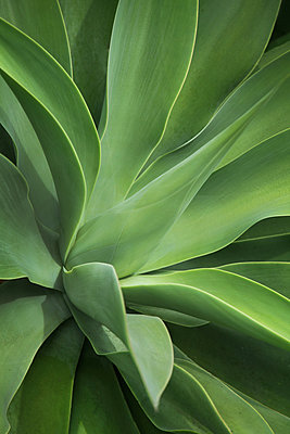 Aloe Plant Detail - p1166m2095768 by Cavan Images
