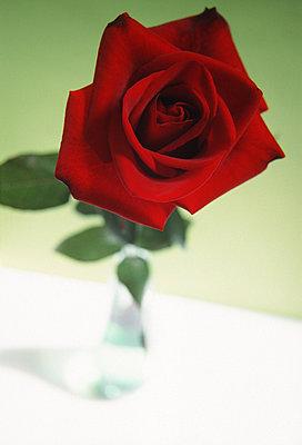 Rose - p2680149 von M. Klippel