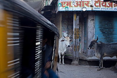 Sacred cows on the street - p429m896069 by Tim Hall