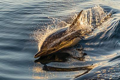Long-beaked common dolphin  wake riding, Isla Danzante, Baja California Sur, Mexico, North America - p871m1561568 by Michael Nolan