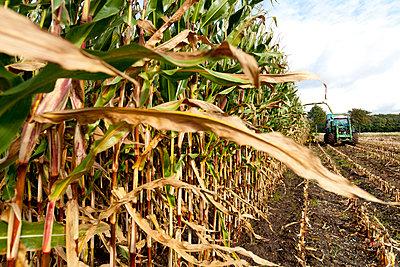 Mais Ernte im Herbst - p979m909805 von Fred Dott