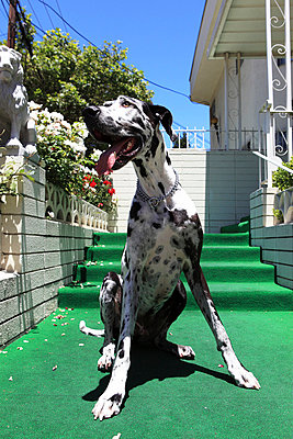 Great Dane - p0452834 by Jasmin Sander