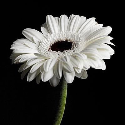 White Gerbera - p1543m2157476 by Sophia Snadli