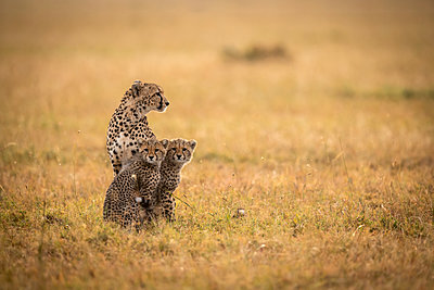 Cheetah (Acinonyx jubatus) sits with two cubs in grass, Maasai Mara National Reserve; Kenya - p442m2039526 by Nick Dale