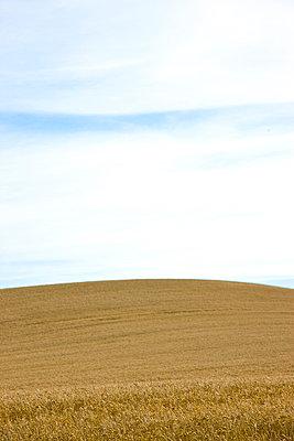 Wheat field - p6690717 by David Harrigan