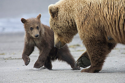 Grizzly Bear mother and cub playing - p884m863698 by Matthias Breiter
