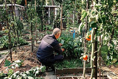 Senior man checking plants while gardening in backyard - p300m2276108 by Oxana Guryanova