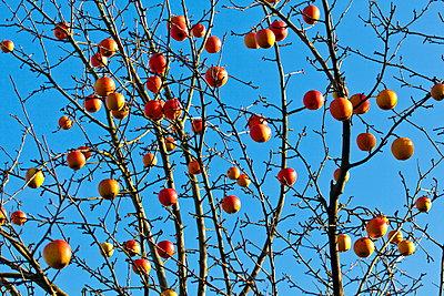 Apfelbaum - p324m1537853 von Alexander Sommer