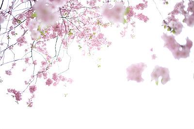 Pink blossoms - p5860286 by Kniel Synnatzschke