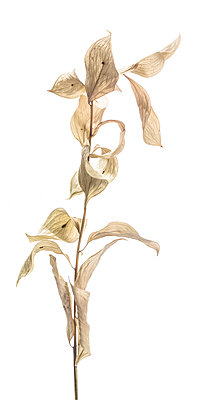 Dried Plant against White Background - p694m2068510 by Lori Adams
