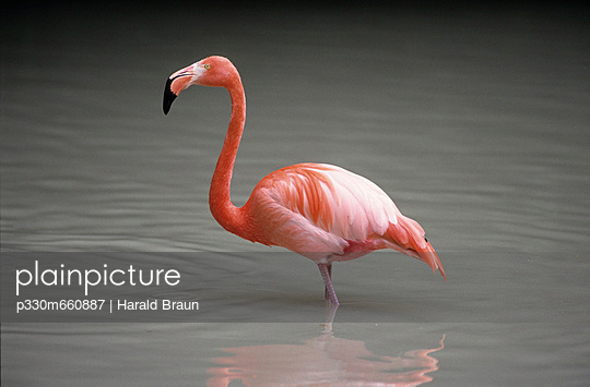 Flamingo - p330m660887 by Harald Braun