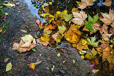 Autumn leaves - p1057m952816 by Stephen Shepherd