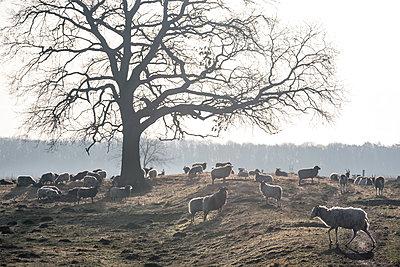 Schafe auf einer Weide - p739m1541099 von Baertels