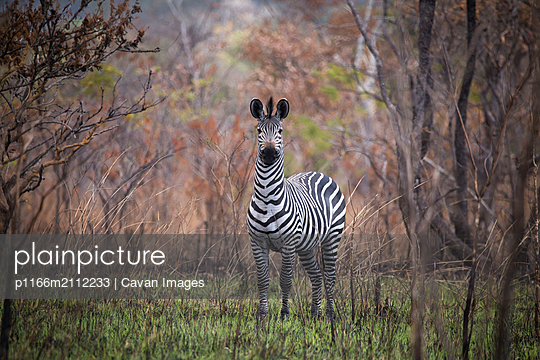 Zebra standing on field in forest at Selous Game Reserve - p1166m2112233 by Cavan Images