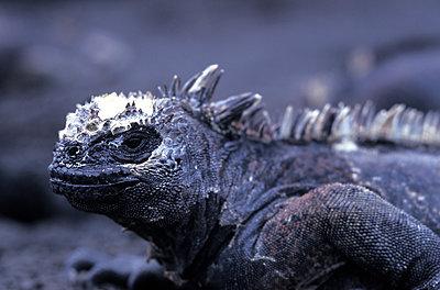 Galapagos Meerechse, Amblyrhynchus cristatus - p1463m2230999 von Wolfgang Simlinger