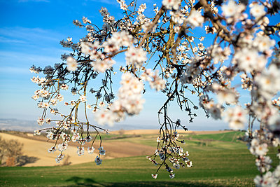 Cherry blossom - p265m2064378 by Oote Boe
