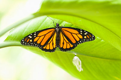 Monarch butterfly perching on leaf - p555m1479359 by PBNJ Productions