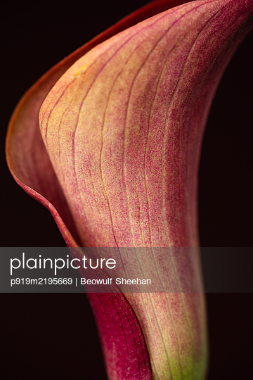 Leaf of a arum plant - p919m2195669 by Beowulf Sheehan