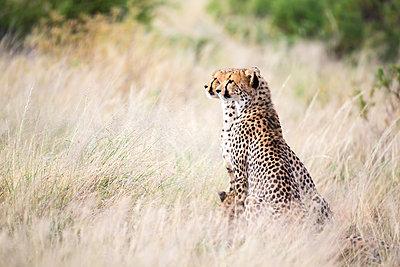 A cheetah sits in the savannah looking for prey - p1166m2191977 by Cavan Images