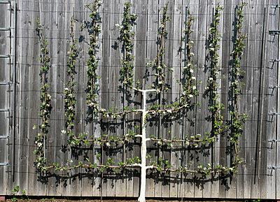 Espalier tree - p451m903672 by Anja Weber-Decker