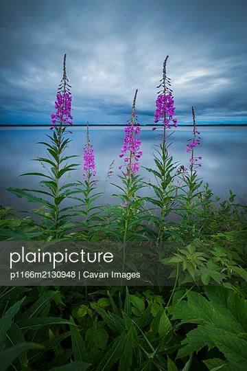 """Fireweed growing on lake shore; Goose Bay, Labrador"" - p1166m2130948 by Cavan Images"