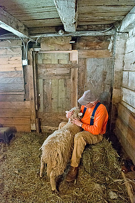Sheep shearing at a small business organic farm in upstate NY - p429m926203 by Angela Cappetta