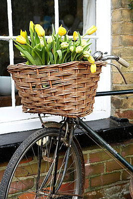 Yellow tulips in wicker bicycle pannier;  Isle of Wight;  UK - p349m920086 by Rachel Whiting