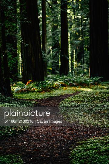 Forest trail amongst large redwoods. - p1166m2130316 by Cavan Images