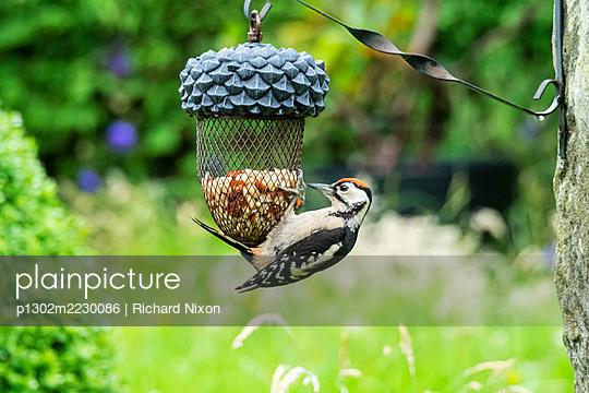 A juvenile Great Spotted Woodpecker on a garden bird feeder. - p1302m2230086 von Richard Nixon