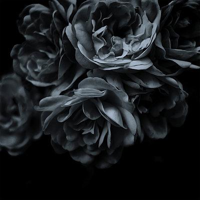 Dunkle Rosen - p1578m2150518 von Marcus Hammerschmitt