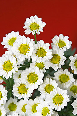 Chrysanthemum and red background - p4150438 by Tanja Luther