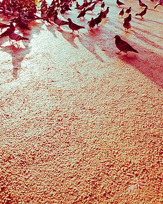 Viele Tauben auf Patz - p432m1222241 von mia takahara