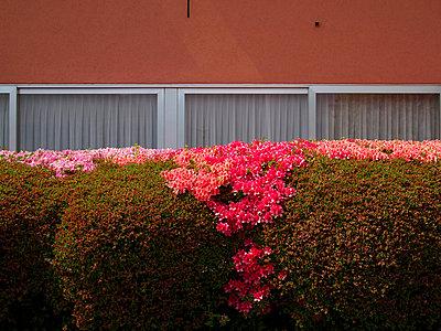 brissago hecke blumen - p627m671164 by Hendrik Rauch