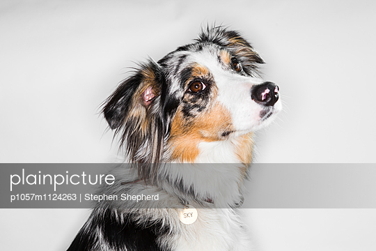 Hundeportrait - p1057m1124263 von Stephen Shepherd