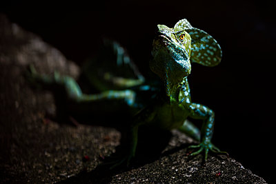 Common Basilisk (Jesus Christ Lizard) (Basiliscus Basiliscus), Tortuguero National Park, Limon Province, Costa Rica - p871m2149879 by Matthew Williams-Ellis
