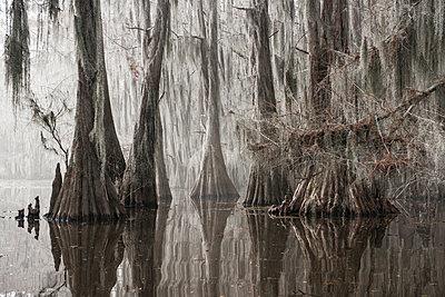 Trees growing in Caddo lake - p1166m1193973 by Cavan Images
