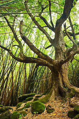 Hawaii, Kauai, Na Pali Coast, Tree And Bamboo Forest Along Trail To Hanakapi'ai Falls (Off Main Kalalau Trail). - p442m934853 by Makena Stock Media