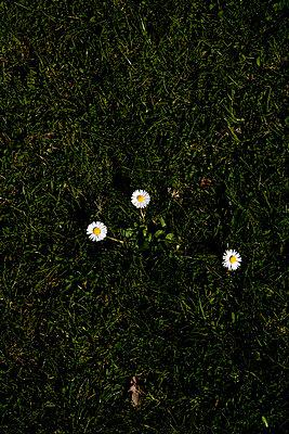 Drei Gänseblümchen - p4470195 von Anja Lubitz