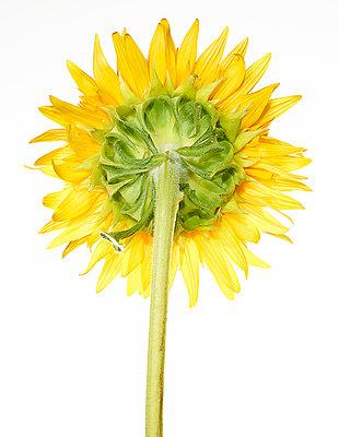 Sunflower - p803m2270180 by Thomas Balzer