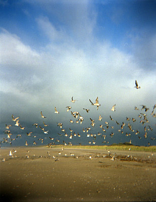 Swarm of seagulls at the beach - p8960331 by Judith Dekker
