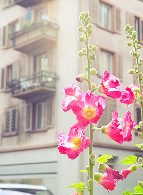 Mallow flower in front of a building - p922m2071496 by Juliette Chretien