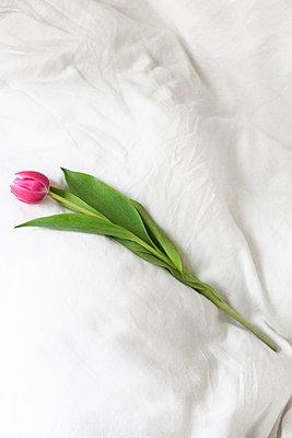 Pink tulip - p9560001 by Anna Quinn