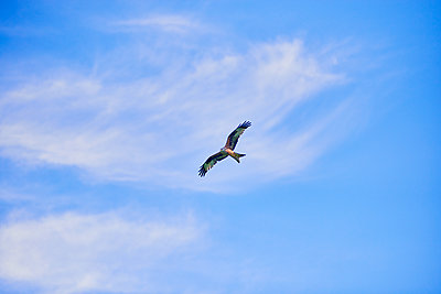 Kite in flight - p1012m2065504 by Frank Krems